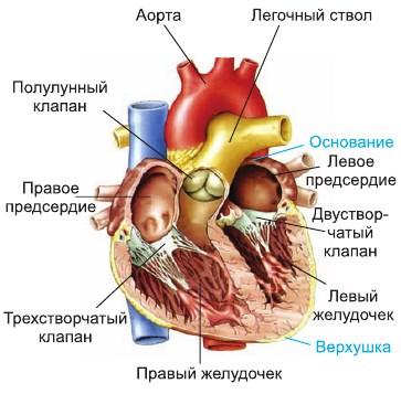 Сердце строение сердца и его работа