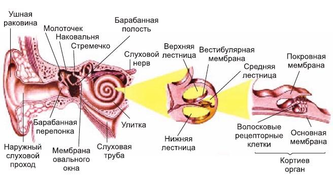 Где находится слуховой рецептор